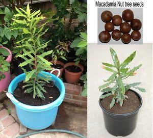 20 Fresh Seeds of Hawaiian Macadamia Nut Tree Plant