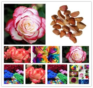 WIN27 RARE Rainbow Rose Flower Seeds Your Lover Multi Color Plants Home Garden D