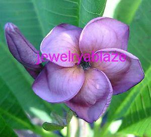 """Plumeria Frangipani Plants """"Purple"""" 300 Seeds"""