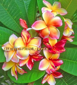 "Plumeria Plants Flowers ""New Variety""Fresh 50 Seeds"