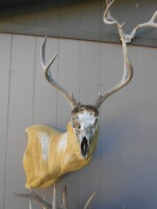 3x3 Mule Deer Rack Antlers on Full Skull Mount Whitetail Elk Sheds Moose Horns