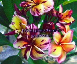 "Plumeria Plants Flowers ""Blackcyclone"" Fresh 50 Seeds"