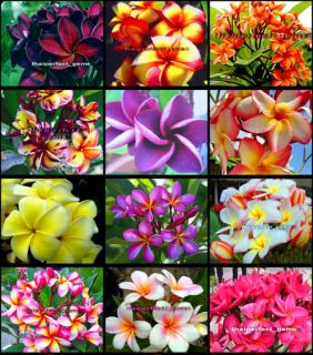 "Plumeria Plants Flowers ""Mixed 12 Type"" Fresh 50 Seeds"