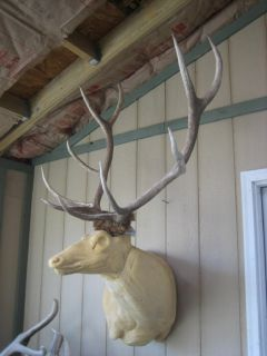 Nice 6x5 Elk Antlers Rack Taxidermy Deer Mule Whitetail Mount Sheds Moose