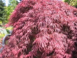 Acer Palmatum Japanese Maple Outdoor Bonsai Tree Seeds