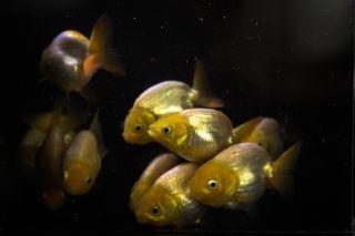 Ranchu Goldfish Sale on PopScreen