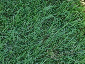 No Mow Grass Seed Get The Cutting Edge in Lawn Care Less Mowing Watering Weeds