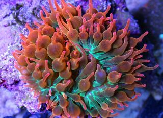 Ultra Rainbow Rose Bubbletip Anemone Saltwater Live Coral Reef