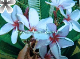 "Auction Plumeria Frangipani Plants "" Sefa"" 50 Seeds"