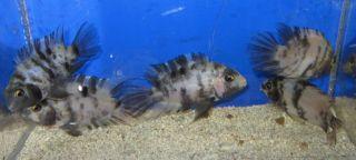 1 Marble Male Convict Cichlid for Live Freshwater Aquarium Fish