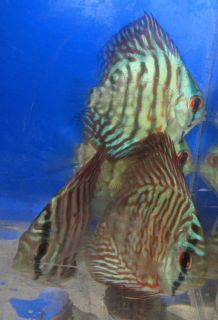 Live Freshwater Aquarium Fish Red Tiger Turquoise Discus
