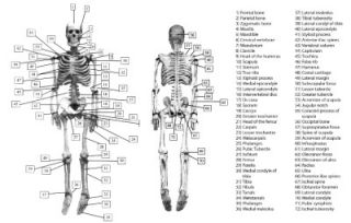Half Sized 31 inch Molded Human Skeleton Model Lifelike Bone Color