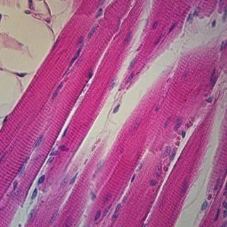 Mammal Skeletal Muscle, General Structures sec. 7 µm, H&E Microscope Slide: Industrial & Scientific