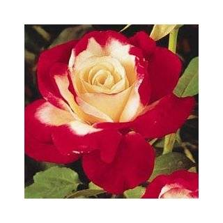 Mixed Double Delight Hybrid Tea Rose Perennials  Fresh Cut Format Rose Flowers  Grocery & Gourmet Food